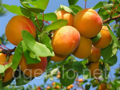 Абрикос Мелитопольский поздний - саженцы абрикоса