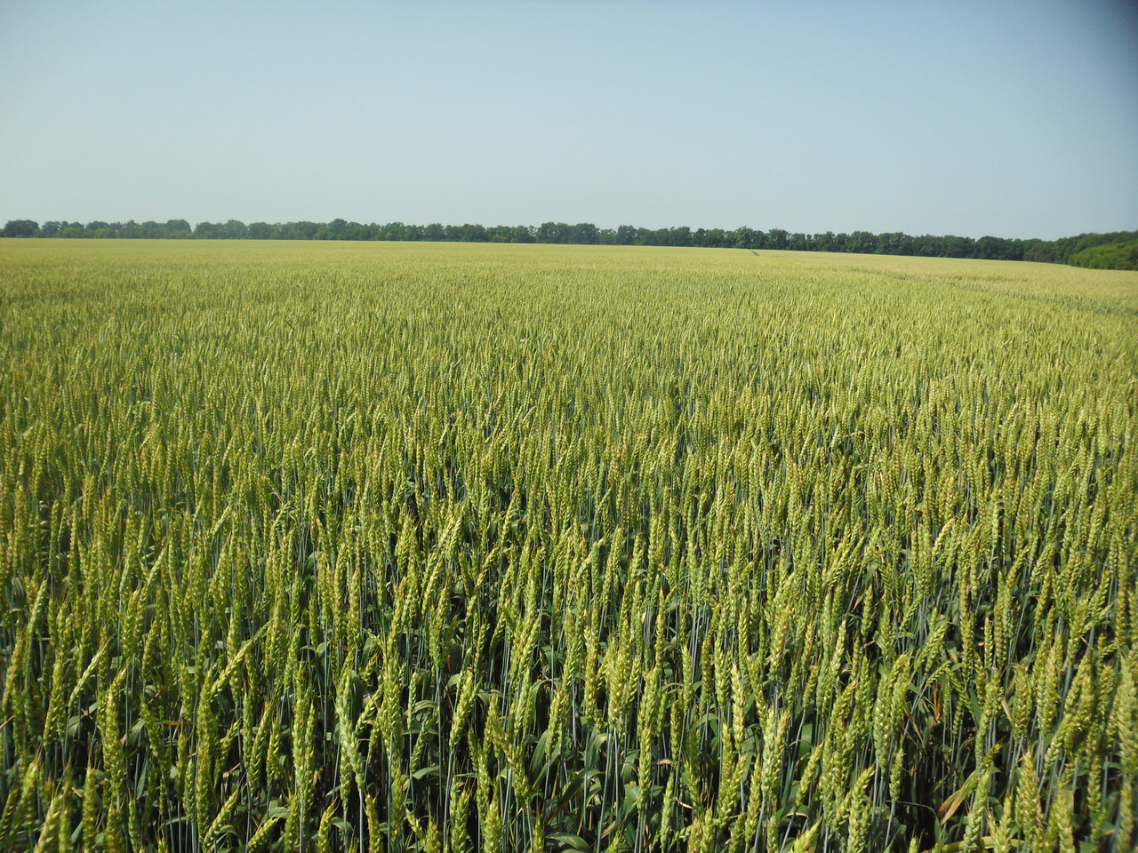 Семена пшеницы НЕДРА элита 1 репродукция