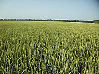 Семена пшеницы СТРУНА МИРОНОВСКАЯ элита 1 репродукция