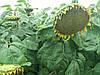 Насіня соняшника ОСМАН під Євролайтнінг, Гібрид стійкий до посухи та вовчка шости рас A-F. Врожайний 38 ц/га. Олійність 49 %.