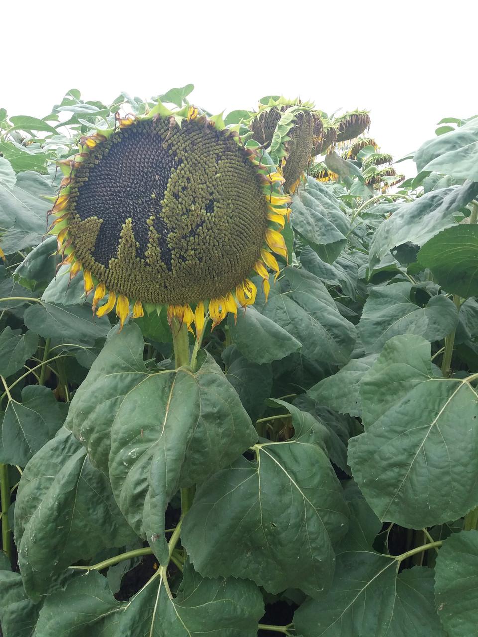 Семена подсолнечника под ЕвроЛайтинг ОСМАН, Высокоурожайный подсолнечник. Устойчив к заразихе и засухе. Экстра