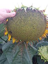 Насіння під ЕвроЛайтинг ОСМАН, Високоврожайний гібрид 38ц/га. Посухостійкий соняшник. Стандарт