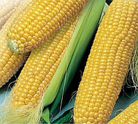 Насіння кукурудзи Оржиця 237 МВ