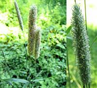 Семена трава для засевания Тимофеевка 1 КГ