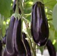 Темно-фиолетовый ранний баклажан гибрид  Миринда F1, Семена профессиональная упаковка 1000 семян, Lark Seeds