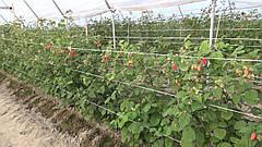 Что важно учесть, и как садить малину, для получения хорошего урожая