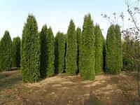 Туя западная 'Колумна' (Thuja occidentalis 'Columna'), 3-4 м