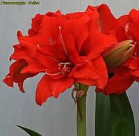 Гиппеаструм  Celica (Селика) 24\26