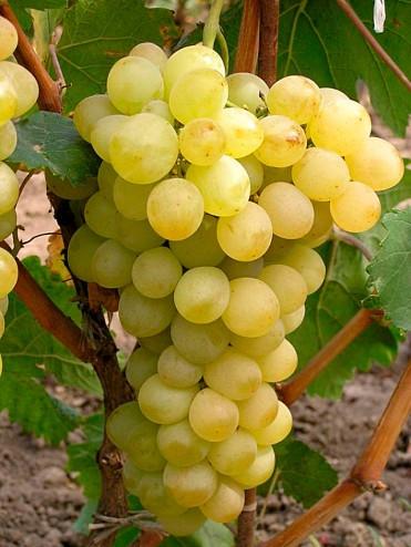 Виноград Презентабель