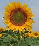 Насіння соняшника НС ИМИСАН (під Євро-Лайтнінг), фото 5