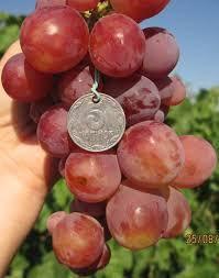 Виноград Розмус, фото 2