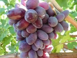 Виноград Кармакод