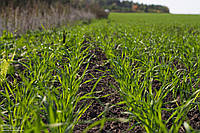 Стан озимих зернових культур в Україні, — НААН