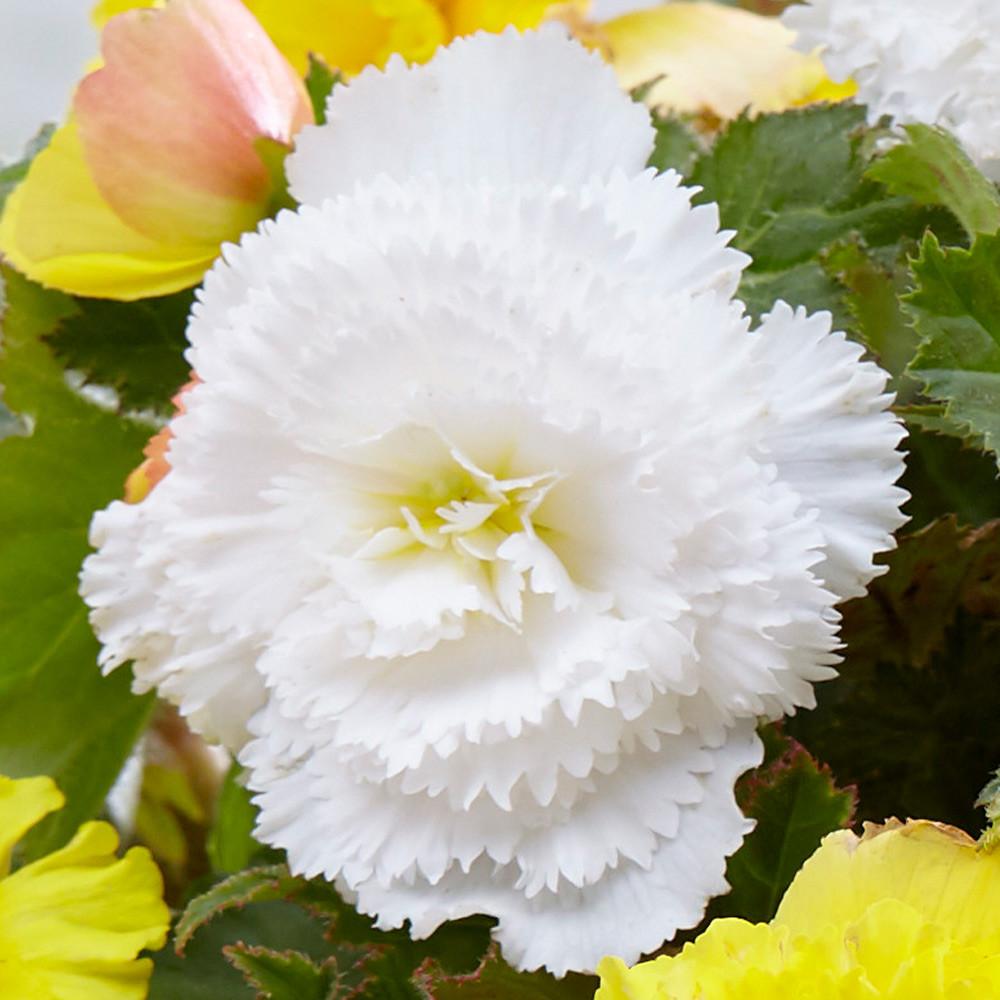 Бегония клубневая бахромчатой белой