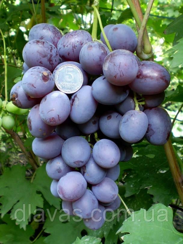 Саженцы Виноград столовый Гала