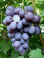 Саженцы Виноград столовый Гала, фото 1