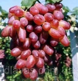 Саженцы Виноград столовый Ризамат