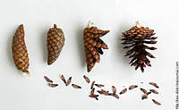 Семена европейской ели 0,3 грамма(примерно 60 шт семян), фото 1