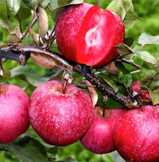 Саджанці яблуні Бая Маріса