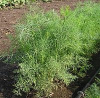 Семена укропа Дилл, Clause 50 грамм