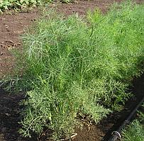 Семена укропа Дилл, Clause 50 грамм | профессиональные
