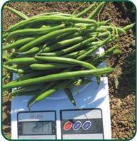 Кустовая зеленая спаржевая фасоль, высокоурожайный сорт Пайк Clause Франция, Семена профупаковка 100 000 семян