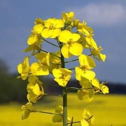 Гірчиця жовта 10 кг