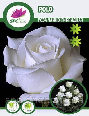 Роза чайно-гибридная Polo, фото 2