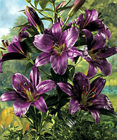 Лилия гиганты o/t гибрид Purple Prince, фото 1