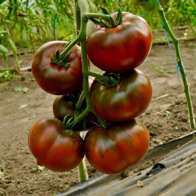 Семена томата Бронсон F1, Clause 1 000 семян | профессиональные
