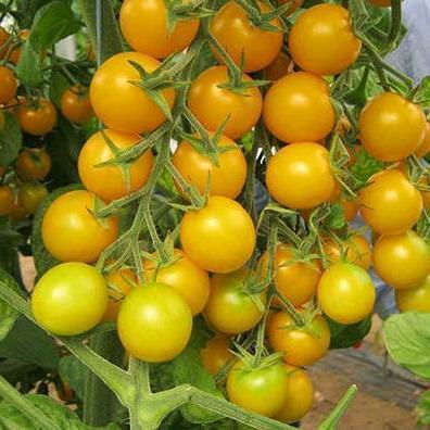 Семена желтого томата черри Голдвин F1 Clause Франция 250 семян, круглый ранний Индетерминантный, высокорослый