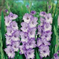 Гладиолусы, Луковицы большецветковых Свит Блу (5 шт)
