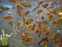 Декоративные рыбки для пруда, карась КОИ