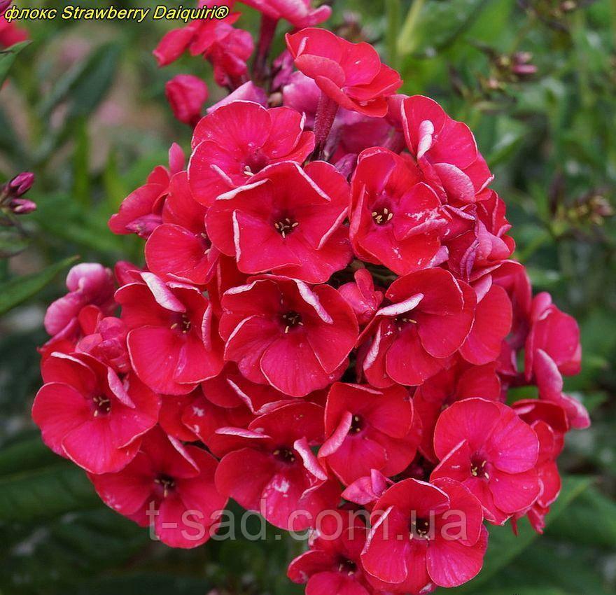 Флокс Strawberry Daiquiri® (Полуничний Дайкірі)