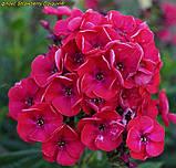 Флокс Strawberry Daiquiri® (Полуничний Дайкірі), фото 2