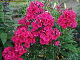 Флокс Strawberry Daiquiri® (Полуничний Дайкірі), фото 3