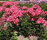 Флокс Strawberry Daiquiri® (Полуничний Дайкірі), фото 4