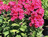 Флокс Strawberry Daiquiri® (Полуничний Дайкірі), фото 5