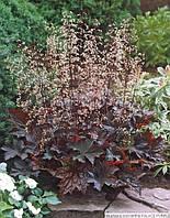 Гейхера micrantha Palace Purple