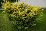 Тис ягодный, Taxus baccata 'Elegantissima', 30 см, фото 6