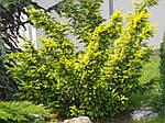 Тис ягодный, Taxus baccata 'Elegantissima', 30 см, фото 7