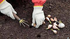 Правильная процедура и общие рекомендации как сажать чеснок на зиму