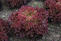 Салат листовий Кармінова 30шт (Semo) ТМ Добрі Сходи