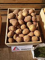Картопля Пікассо 1кг (1 РП) (Агріко) ТМ Добрі Сходи, фото 1