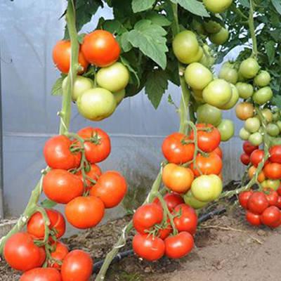 """Семена томата высокорослого, раннего, урожайного """"Абелус"""" F1 (10 семян) от Rijk Zwaan, Голландия, фото 2"""