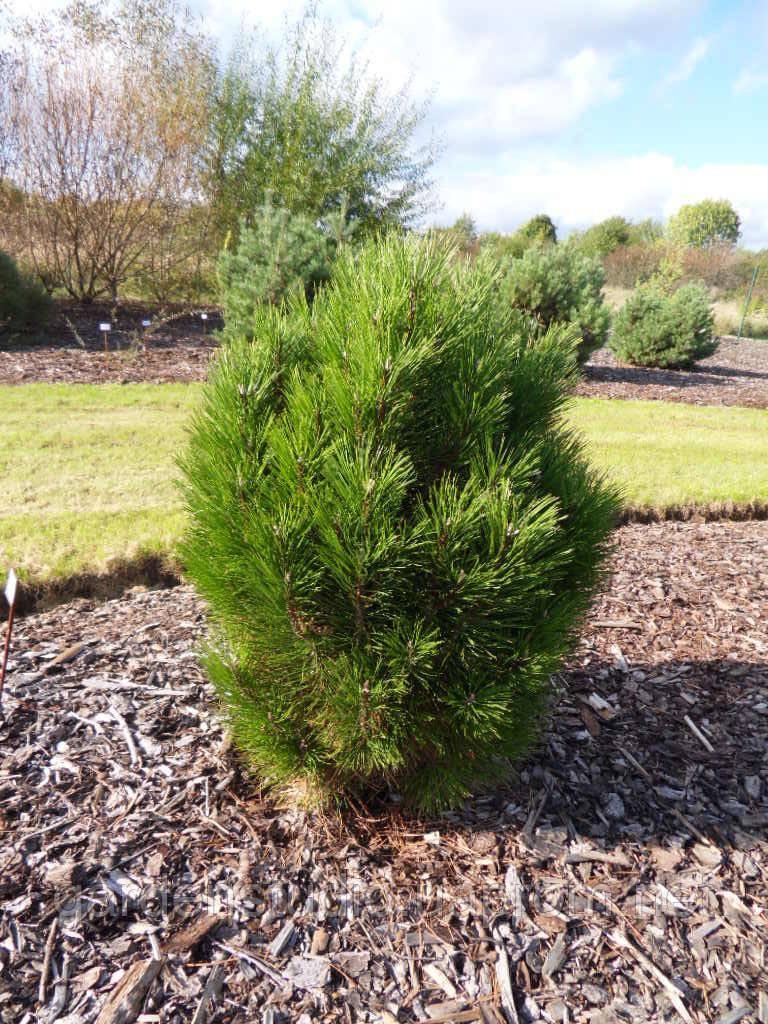 Сосна черная Кляйнер Турм (Pinus nigra 'Kleiner Turm')