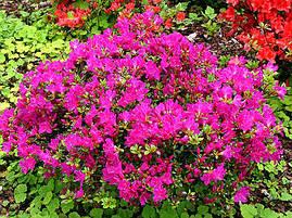 Азалія японська Rosinetta 4 річна , Азалия японская /рододендрон Розинетта, Azalea japonica Rosinetta, фото 2