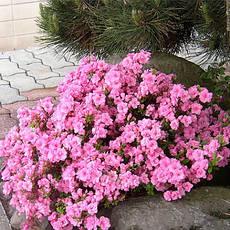 Азалія японська Rosinetta 4 річна , Азалия японская /рододендрон Розинетта, Azalea japonica Rosinetta, фото 3