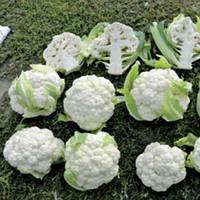 Семена цветной капусты Трайдент F1, Clause 2 500 семян | профессиональные