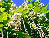 Катальпа бигнониевидная -  Catalpa bignonioides